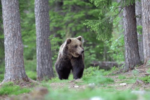 Urși în Parcul Belitsa | Lucky Bansko
